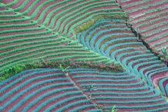 Landschaft von Zwiebelfeldern schafft schöne gebogene Muster lizenzfreie stockfotografie