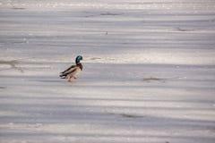 Landschaft winterlich - eine Ente Stockente auf dem eiskalten See lizenzfreies stockbild