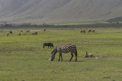 Landschaften mit Zebras lizenzfreie stockbilder