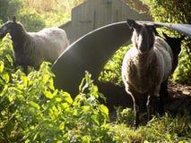 Landschafts-Schafe @ Crookham, Northumberland, England Stockbilder