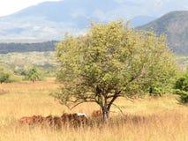Landschaftsbaumkühe Nicaraguas trockene Stockbild