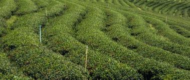 Landschaftsbild der Teeplantage in Thailand Stockbilder
