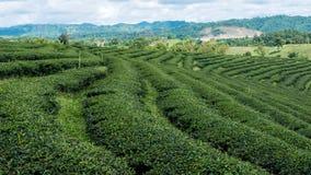 Landschaftsbild der Teeplantage in Thailand Stockfotos