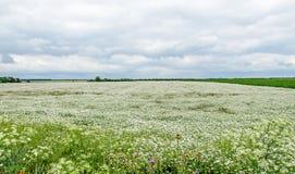 Landschaftsfeld mit weißer Yarrow Achillea-millefolium Blume Lizenzfreie Stockfotografie