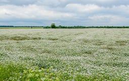 Landschaftsfeld mit weißer Yarrow Achillea-millefolium Blume Lizenzfreies Stockfoto