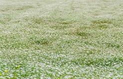 Landschaftsfeld mit weißer Yarrow Achillea-millefolium Blume Lizenzfreies Stockbild