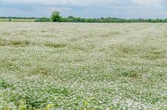 Landschaftsfeld mit weißer Yarrow Achillea-millefolium Blume Stockfotografie