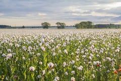Landschaftsfeld von weißen Mohnblumen Stockbild