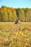 Landschaftsfrühherbst Feld mit Heuschobern auf einem Hintergrund des goldenen Herbstwaldes und des blauen Himmels WestSayan Berge Stockfoto