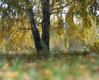 Landschaftsfrühherbst Große ausbreitende Birke mit gelbem und grünem Laub auf einem Hintergrundherbstwald vor Gras und leav Stockfotos
