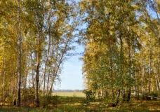Landschaftsfrühherbst Lichtung mit gelbem Gras und Blättern auf dem Hintergrund der Herbstbirkenwaldung auf dem Abstandsgebiet un Stockbilder