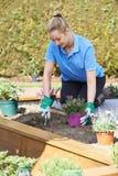 Landschaftsgärtner Planting Flower Bed im Garten Stockfoto