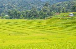 Landschaftsgrüner Reis Stockfotos