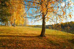 Landschaftsherbstbirke Stockfoto