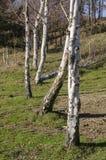 Landschaftslandschaft mit Birken Lizenzfreie Stockbilder