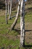 Landschaftslandschaft mit Birken Lizenzfreies Stockfoto