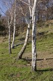 Landschaftslandschaft mit Birken Stockfotografie