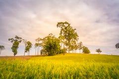 Landschaftssonnenuntergang auf Reisfeld mit schönem blauem Himmel und Wolken Stockbilder