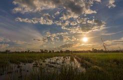 Landschaftssonnenuntergang auf Reisfeld mit schöner blauer Himmel- und Wolkenreflexion im Wasser Stockfotografie