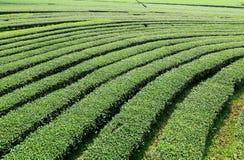 Landschaftsteeplantage an Nord von Thailand Lizenzfreies Stockfoto