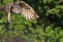 Landschaftswild lebende tiere Wilder Eulenraubvogel Fliegen durch Wald flehen an Stockfoto