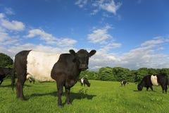 Landschaftszene mit umgeschnalltem Galloway-Vieh stockfotografie