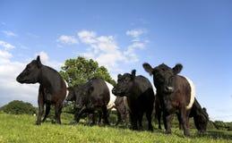 Landschaftszene mit umgeschnalltem Galloway-Vieh Lizenzfreies Stockfoto