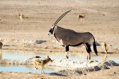 Landschap bij waterhole met oryx en jakhals Stock Foto's