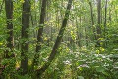 Landschap, de lenteochtend, mist in het bos stock foto's