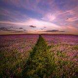 Landschap. Gebied van lilac bloemen. Stock Fotografie