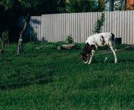 Landschap met één jonge koe een bruine en witte koetribunes op het gebied de kalfstribunes tegen de achtergrond van de omheining stock fotografie