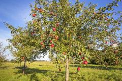 Landschap met Apple-Boom in de Herfst Stock Afbeeldingen