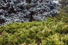 Landschap met blauwe sparren en jeneverbessenstruiken Royalty-vrije Stock Foto's