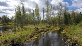 Landschap met bloeiende goudsbloem op de rand van een gemengd bos in Noordelijk Siberië stock footage