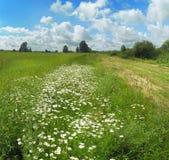 Landschap met camomiles Stock Foto