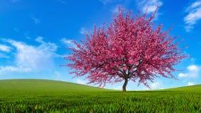 Landschap met de boom van de sakurakers in volledige bloesem royalty-vrije stock afbeeldingen