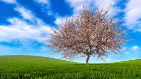 Landschap met enige kersenboom in volledige bloesem royalty-vrije stock foto