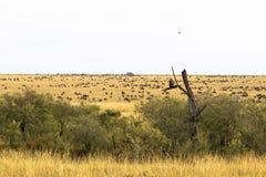 Landschap met grote kudden Grote migratie Kenia, Afrika stock afbeelding