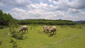 Landschap met het weiden van waterbuffels op weidesatellietbeeld stock videobeelden