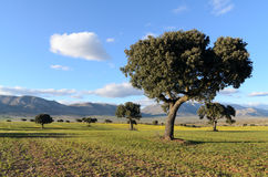 Landschap met holm eiken in de lente Stock Foto's