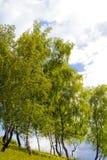 Landschap met jonge berkbomen Stock Foto's