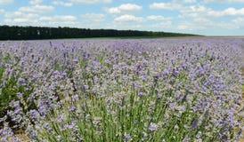 Landschap met lavendel Royalty-vrije Stock Afbeelding