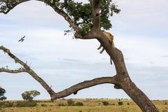Landschap met luipaard Stock Afbeeldingen