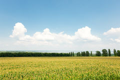 Landschap met maïsgebied en bewolkte blauwe hemel Stock Foto