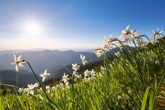 Landschap met mooie gele narcisbloemen Hooggebergte in nevel Plaats van toevlucht voor Toeristen Plaats de Karpatische Bergen royalty-vrije stock foto