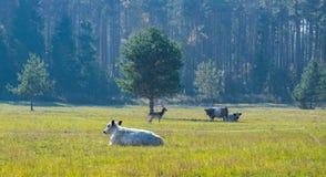 Landschap met reeën die zich op de rand van het bos dichtbij de weidende koeien in de ochtendmist bevinden stock foto