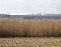 Landschap met riet royalty-vrije stock foto's