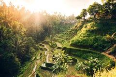 Landschap met rijstterrassen op beroemd toeristengebied van Tagalalang, Bali, Indonesië De groene Padievelden bereiden harves voo Royalty-vrije Stock Afbeeldingen