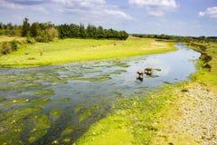 Landschap met rivier en koeien stock afbeelding