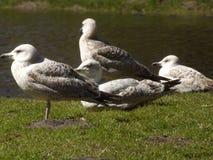Landschap met vier grote zeemeeuwen dichtbij weinig meer op het groene gras in de lente Royalty-vrije Stock Afbeelding